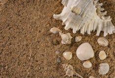 Δέσμη των θαλασσινών κοχυλιών στην άμμο παραλιών Εκλεκτική εστίαση στην άσπρη θάλασσα Shell και το διάστημα αντιγράφων στοκ φωτογραφία