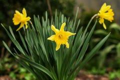 Δέσμη των κίτρινων λουλουδιών ή των ναρκίσσων daffodil, στην πράσινη χλόη du στοκ εικόνα
