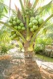 Δέσμη των καρύδων στο δέντρο καρύδων Στοκ Εικόνα
