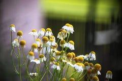 Δέσμη των λουλουδιών chamomilla στο βράδυ Στοκ Εικόνες