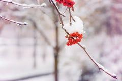 Δέσμη των μούρων σορβιών με το χειμερινό υπόβαθρο κρυστάλλων πάγου Χειμερινό τοπίο με τη χιονισμένη κόκκινη σορβιά στοκ εικόνα