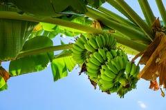 Δέσμη των μπανανών σε ένα δέντρο στοκ εικόνες