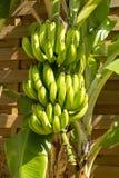 Δέσμη των μπανανών στο δέντρο Στοκ Εικόνα