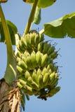 Δέσμη των μπανανών στο δέντρο μπανανών Στοκ Εικόνα