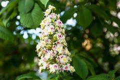 Δέσμη των λουλουδιών του horse-chestnut δέντρου Στοκ φωτογραφία με δικαίωμα ελεύθερης χρήσης