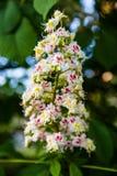 Δέσμη των λουλουδιών του horse-chestnut δέντρου Στοκ φωτογραφίες με δικαίωμα ελεύθερης χρήσης
