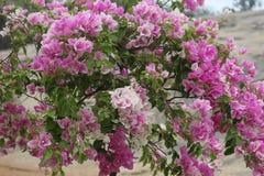 Δέσμη των λουλουδιών Bougainvillea στο πάρκο Στοκ Φωτογραφία