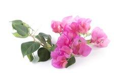 Δέσμη των λουλουδιών bougainvillea Στοκ Φωτογραφία