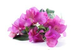 Δέσμη των λουλουδιών bougainvillea Στοκ φωτογραφίες με δικαίωμα ελεύθερης χρήσης