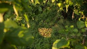 Δέσμη των πεσμένων μήλων στο έδαφος κάτω από το δέντρο μηλιάς φιλμ μικρού μήκους