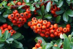 Δέσμη των πορτοκαλιών μούρων pyracantha Στοκ εικόνες με δικαίωμα ελεύθερης χρήσης