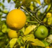 Δέσμη των πορτοκαλιών Στοκ εικόνα με δικαίωμα ελεύθερης χρήσης