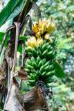 Δέσμη των πράσινων μπανανών σε ένα δέντρο Στοκ φωτογραφίες με δικαίωμα ελεύθερης χρήσης