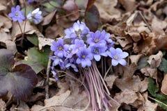 Δέσμη των πρώτων λουλουδιών άνοιξη στα ξηρά φύλλα στο δάσος Στοκ Φωτογραφίες
