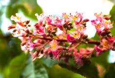 Δέσμη των ρόδινων λουλουδιών του horse-chestnut δέντρου Στοκ Εικόνες