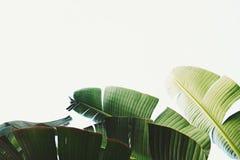 Δέσμη των τροπικών φύλλων φοινικών μπανανών στον κλάδο χωρίς φρούτα Ελεύθερη έννοια φύσης ρύπανσης Υπόβαθρο δημοκρατιών μπανανών Στοκ Εικόνα