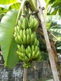 Δέσμη των φρούτων μπανανών στο δέντρο στο χωριό στοκ εικόνες