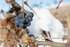 Δέσμη των χειμερινών σταφυλιών με το χιόνι Στοκ εικόνα με δικαίωμα ελεύθερης χρήσης