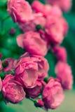 Δέσμη των όμορφων τριαντάφυλλων Στοκ Εικόνες