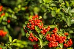 Δέσμη των ώριμων rowanberry φρούτων στο δέντρο σορβιών με τα πράσινα φύλλα Στοκ εικόνα με δικαίωμα ελεύθερης χρήσης