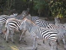 Δέσμη των zebras στο δάσος Στοκ εικόνες με δικαίωμα ελεύθερης χρήσης
