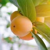 Δέσμη ώριμα persimmons σε ένα δέντρο Στοκ εικόνα με δικαίωμα ελεύθερης χρήσης