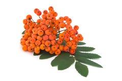Δέσμη Ashberry με τα φύλλα Στοκ Εικόνες
