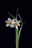 δέσμη daffodils στοκ φωτογραφίες