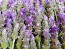 δέσμη lavender των λουλουδιών, του υποβάθρου και της σύστασης Στοκ φωτογραφία με δικαίωμα ελεύθερης χρήσης