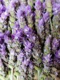 δέσμη lavender των λουλουδιών, του υποβάθρου και της σύστασης Στοκ Εικόνες