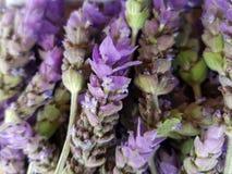 δέσμη lavender των λουλουδιών, του υποβάθρου και της σύστασης Στοκ Εικόνα