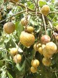 δέσμη Longan ή Dimocarpus longan Στοκ Εικόνες