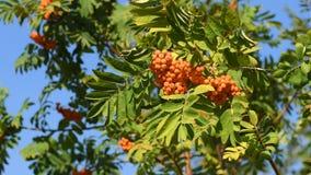 Δέσμη rowanberry στο δέντρο απόθεμα βίντεο