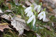 Δέσμη snowdrops πρώτα στο δάσος Στοκ φωτογραφία με δικαίωμα ελεύθερης χρήσης