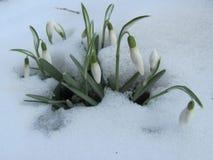 Δέσμη Snowdrops στο χιόνι Στοκ εικόνα με δικαίωμα ελεύθερης χρήσης