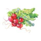 Δέσμη Watercolor του ραδικιού με την κορυφή Συρμένα χέρι φρέσκα απομονωμένα λαχανικά Ρίζα ζωγραφικής, απεικόνιση φύλλων Στοκ εικόνα με δικαίωμα ελεύθερης χρήσης