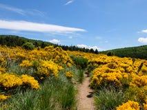Δέστε με τις ανθίζοντας σκούπες στα βουνά Cevennes, Γαλλία Στοκ Εικόνες