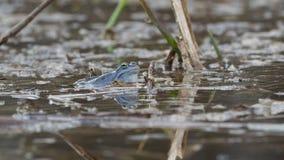Δέστε το βάτραχο - μπλε ευρωπαϊκός βάτραχος arvalis Rana στη μικρή λίμνη κατά τη διάρκεια της άνοιξη στην Τσεχία, Μοραβία απόθεμα βίντεο