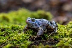 Δέστε το βάτραχο - arvalis Rana Στοκ φωτογραφίες με δικαίωμα ελεύθερης χρήσης