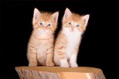 δίδυμα γατακιών Στοκ Εικόνες
