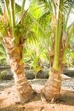 Δίδυμο δέντρο καρύδων με τις μικρές καρύδες Στοκ Εικόνα