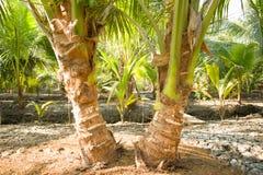 Δίδυμο δέντρο καρύδων Στοκ Εικόνες