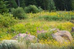 Δίδυμο Arnica, μαργαριταρένιος συνεχής, λιβάδι Fireweed Wildflowers στα πεύκα στοκ εικόνα