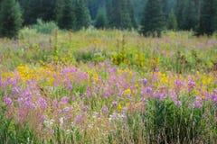 Δίδυμο Arnica, μαργαριταρένιος συνεχής, Fireweed, Yarrow λιβάδι Wildflowers στα πεύκα στοκ φωτογραφίες