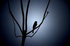δίκρανο drongo που παρακολουθείται Στοκ Φωτογραφίες