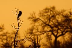 δίκρανο drongo που παρακολο&up Στοκ εικόνες με δικαίωμα ελεύθερης χρήσης