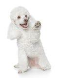 δίνει poodle ποδιών το λευκό πα&i Στοκ φωτογραφία με δικαίωμα ελεύθερης χρήσης