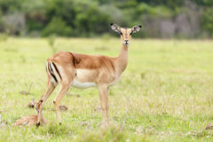 Δίνοντας στη γέννηση 1 - το angasii Nyala - Tragelaphus Στοκ Φωτογραφίες