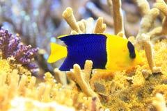 Δίχρωμο Angelfish Στοκ φωτογραφίες με δικαίωμα ελεύθερης χρήσης