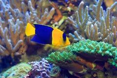 Δίχρωμο Angelfish Στοκ εικόνα με δικαίωμα ελεύθερης χρήσης